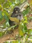 Panda monkey in a tree in Railay