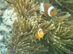Nemo and Marlin off Koh Lipe