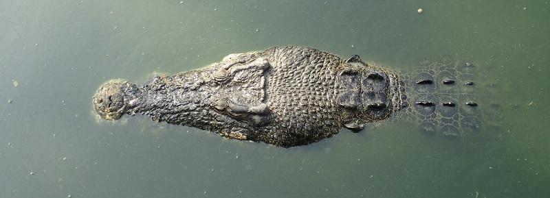 Motionless crocs in Langkawi