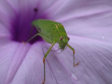 Cricket on the petals
