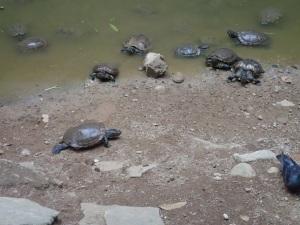 Turtles by the Kek Lok Tong temple