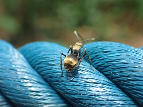A gold ant on a rope