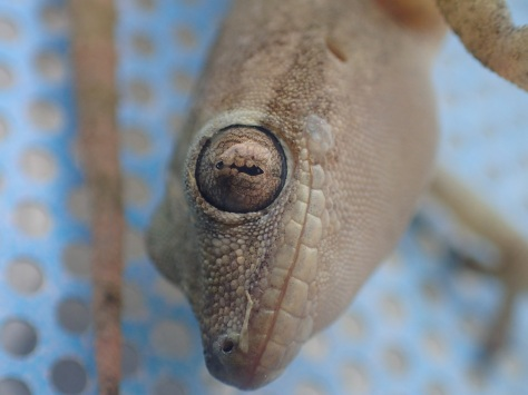 Gecko found in Kep