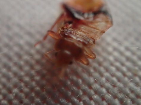 Bed bug in Mad Monkey, Siem Reap