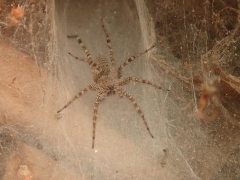 Angkorian arachnid