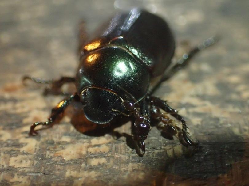 Beautiful green beetle in Laos