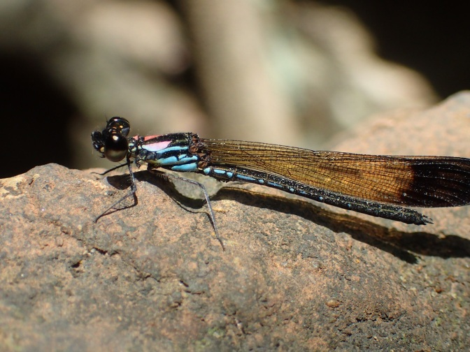 Macro of a dragonfly in Dalat