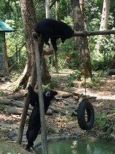 Sun bears climbing on a frame in Laos