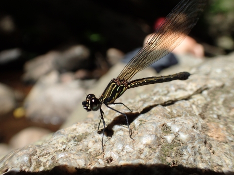 Close up of a dragonfly spreading its wings