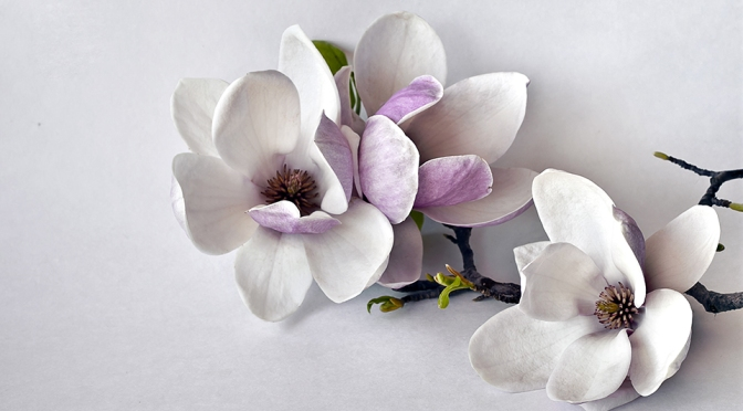 Magnolia – ingenious or just tedious?